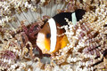 Clark s anemonefish a or clownfish amphiprion clarkii sheltering among the tenacles of its host anemone tulamben bali Royalty Free Stock Photography