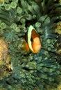 Clark s anemonefish perhentian island terengganu Stock Photos