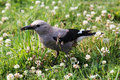Clark's nutcracker eating a bee Royalty Free Stock Photo