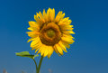 Classic ukrainian symbol sunflower at flowering time against dark blue sky Royalty Free Stock Photos