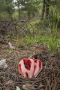 Clathrus ruber is a species of fungus in the stinkhorn family, and the type species of the genus Clathrus. It is Royalty Free Stock Photo