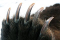 Claws on the front paw of the kamchatka bear spring hunting Stock Photography