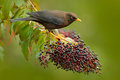 Clay-colored Robin, Turdus grayi, sitting on branch with fruit in habitat, Costa Rica. Birdwatching in America. Bird from Costa Ri Royalty Free Stock Photo