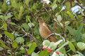 Clay colored thrush turdus grayi on a branch in costa rica Stock Image