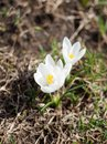 Clean and bright first white crocus flowers on blured background. Royalty Free Stock Photo