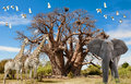 Animals of Africa, Baobab Tree, Illustration of Giraffes, Elephant and Birds with Baobab Tree