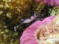 Cleaning shrimp Stock Photos