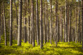 Clear pine forest Royalty Free Stock Photo