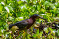 A clear profile shot of a green heron about to catch a crawfish for lunch good small or wading bird called butorides virescens Stock Image