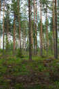 Clearing in forest Royalty Free Stock Photo