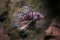 Cleartail lionfish Stock Image