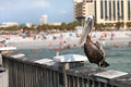 Clearwater beach florida pelican a brown bird posing on the railing of the public pier in Stock Photography