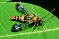 Clearwing wasp mimic moth perched on a green leaf Royalty Free Stock Image