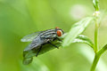 cleg fly in nature. macro Royalty Free Stock Photo