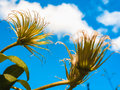 Clematis against a background of blue sky and white clouds Royalty Free Stock Photo