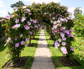 Clematis archway formed of pink flowering located in the garden of greys court tudor country house Stock Photos