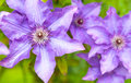 Clematis beautiful large blue flowers Royalty Free Stock Images