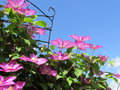 Pink Clematis Flowers with Blue Sky Background Royalty Free Stock Photo