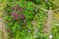 Clematis flower hiding a garden fence Royalty Free Stock Photo