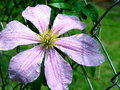 Clematis Flower & Rain Royalty Free Stock Photo
