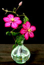 Clematis flower in vase Royalty Free Stock Images