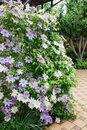 Clematis flowers completely covering a fence in home garden. Royalty Free Stock Photo