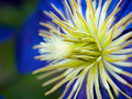 Clematis macro Royalty Free Stock Images