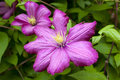 Clematis purple flower in bloom Royalty Free Stock Photography