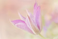 Clematis selective focus of a purple flower in bloom Royalty Free Stock Images