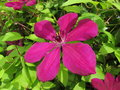 Magenta Clematis Flower Closeup Royalty Free Stock Photo
