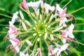 Cleome flower in garden.Macro.