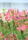 Cleome or spider flower pink in the garden Royalty Free Stock Image