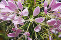 Cleome spinosa Royalty Free Stock Photo