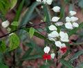 Clerodendrum thomsoniae, Bleeding heart vine Royalty Free Stock Photo