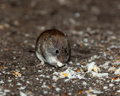 Clethrionomys glareolus, Bank Vole Stock Photography