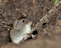Clethrionomys glareolus, Bank Vole Stock Photos