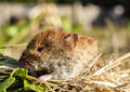 Clethrionomys glareolus - Bank Vole Stock Photo