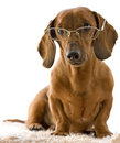 Clever dog in glasses Royalty Free Stock Image
