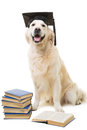 Clever labrador retriever on isolsted white dog pale yellow with hat of bachelor reading books isolated background Stock Image