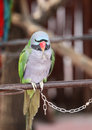 Clever parrot parrots they are very lovely and they can dance and do somersaults they are good at maths Royalty Free Stock Photo