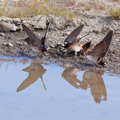 Cliff swallows Hirundo pyrrhonota gathering mud