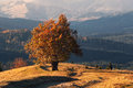 Climax Of Golden Autumn. An Old Lone Beech, Lit By The Autumn Sun, With A Lot Of Orange Foliage On The Background Of The Mountains Royalty Free Stock Photo
