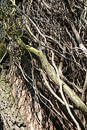 Climber thicket Royalty Free Stock Photo