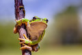 Climbing european tree frog hyla arborea in a and looking in the camera Royalty Free Stock Photos