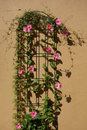 Climbing pink flowers a frame supports a plant with Stock Photos