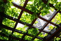 Climbing plant on the pergola Stock Photos