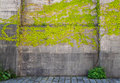 Climbing plants on old wall outdoor background Royalty Free Stock Photo