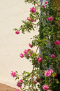 Climbing rose bush Stock Image