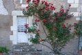 Climbing Rose bush in France. Stock Photography