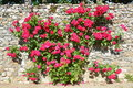 Climbing Rose Bush Growing On A Wall Royalty Free Stock Photo